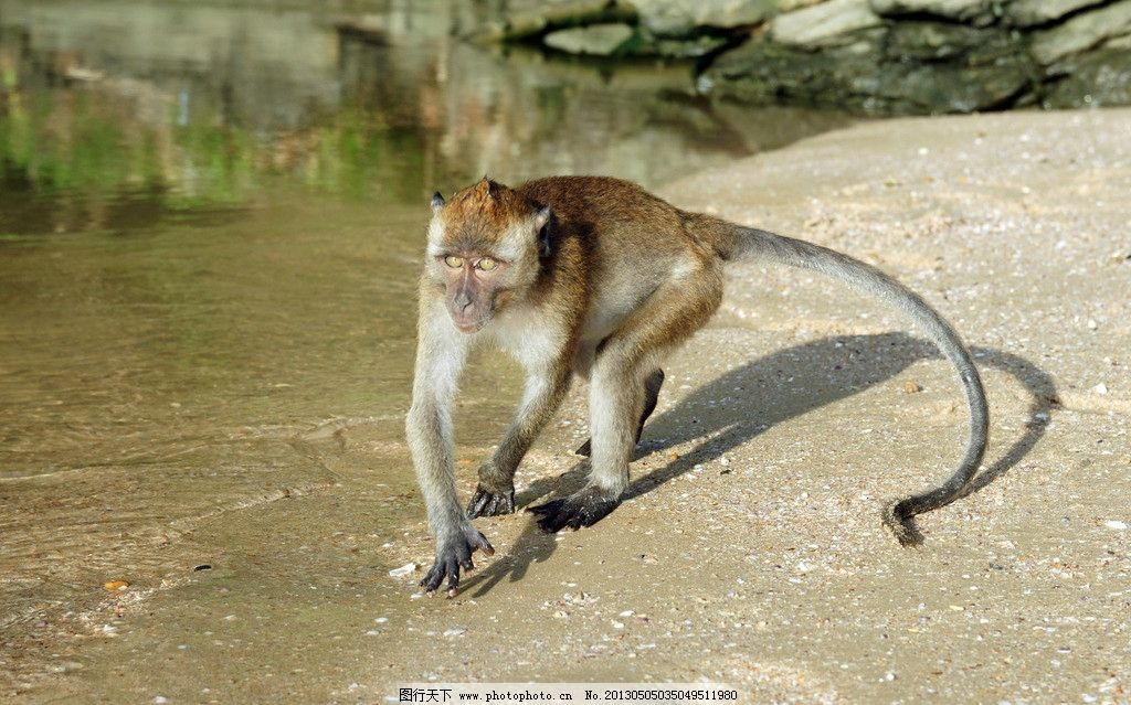 猴子 动物 自然 生物 环境 大自然 野生动物 物种 猴 动物世界 生物