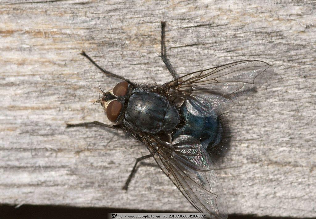 苍蝇 动物 自然 生物 环境 害虫 蚊蝇 摄影