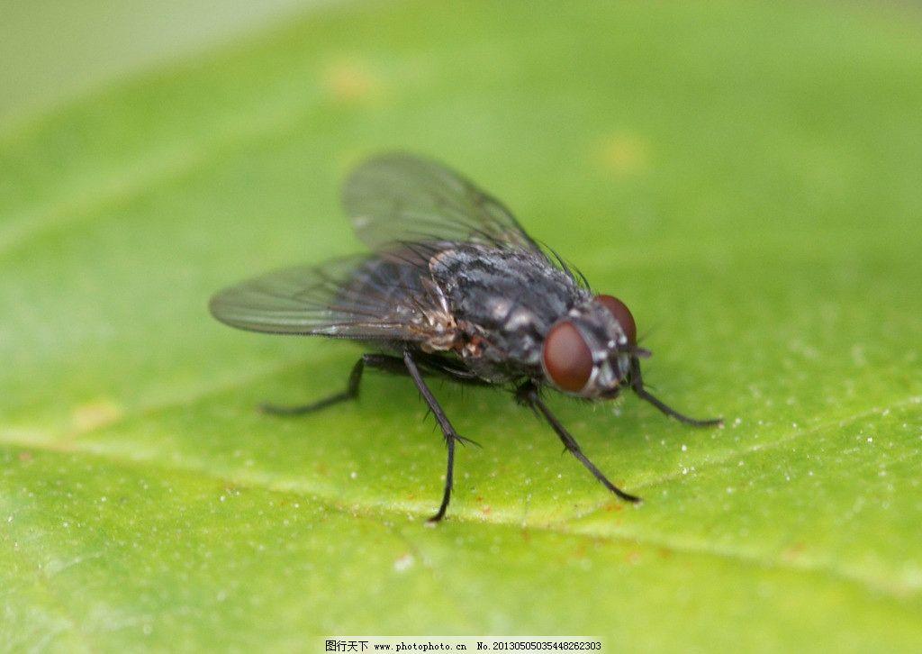 苍蝇 动物 自然 生物 环境 害虫 蚊蝇 叶片 树叶 叶脉 昆虫