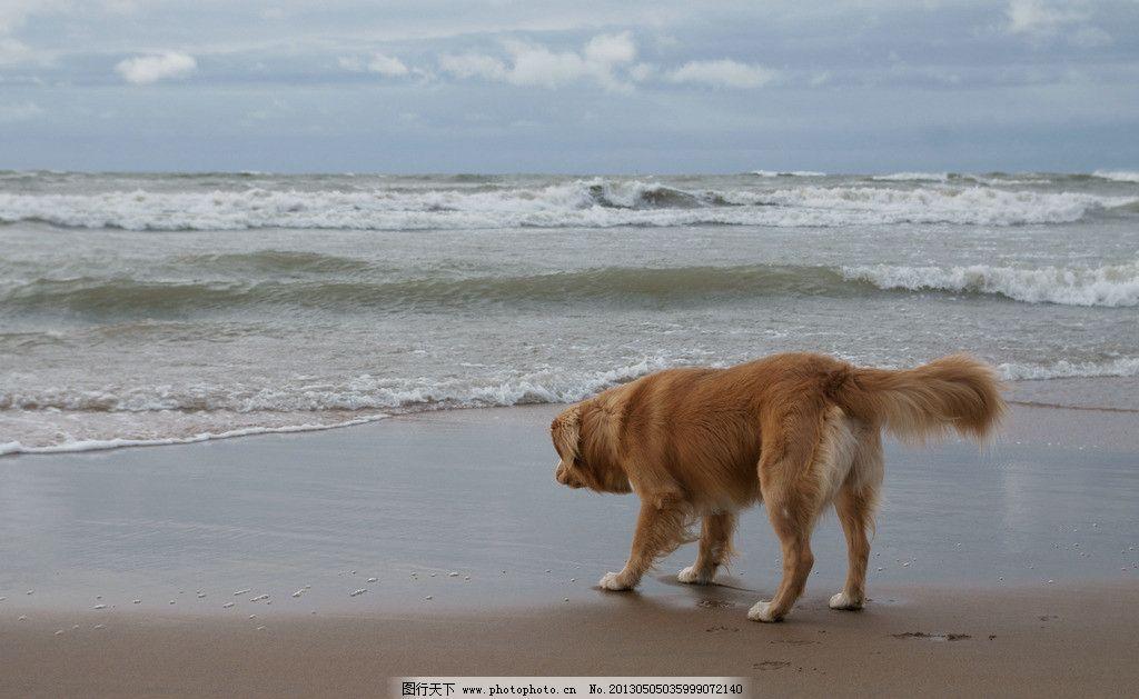 狗狗 小狗 宠物 动物 哺乳动物 沙滩 海边 浪花 海水 摄影