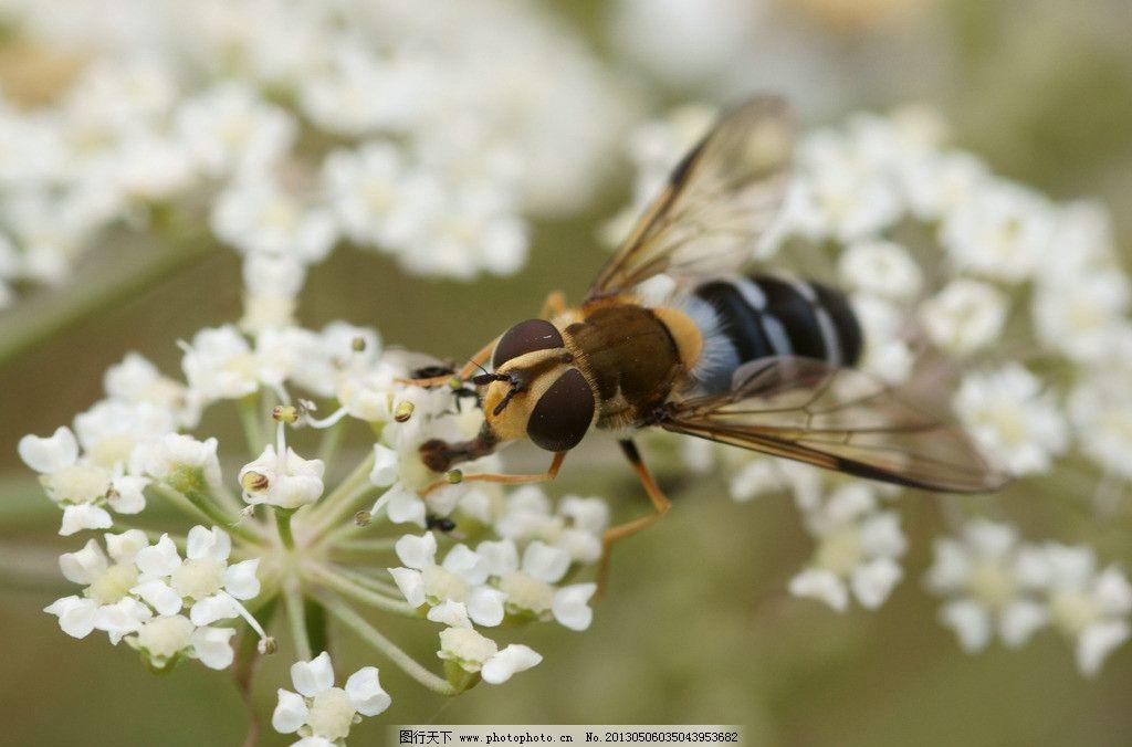蜜蜂 动物 自然 生物 环境 大自然 野生动物 物种 采蜜 动物世界 生物