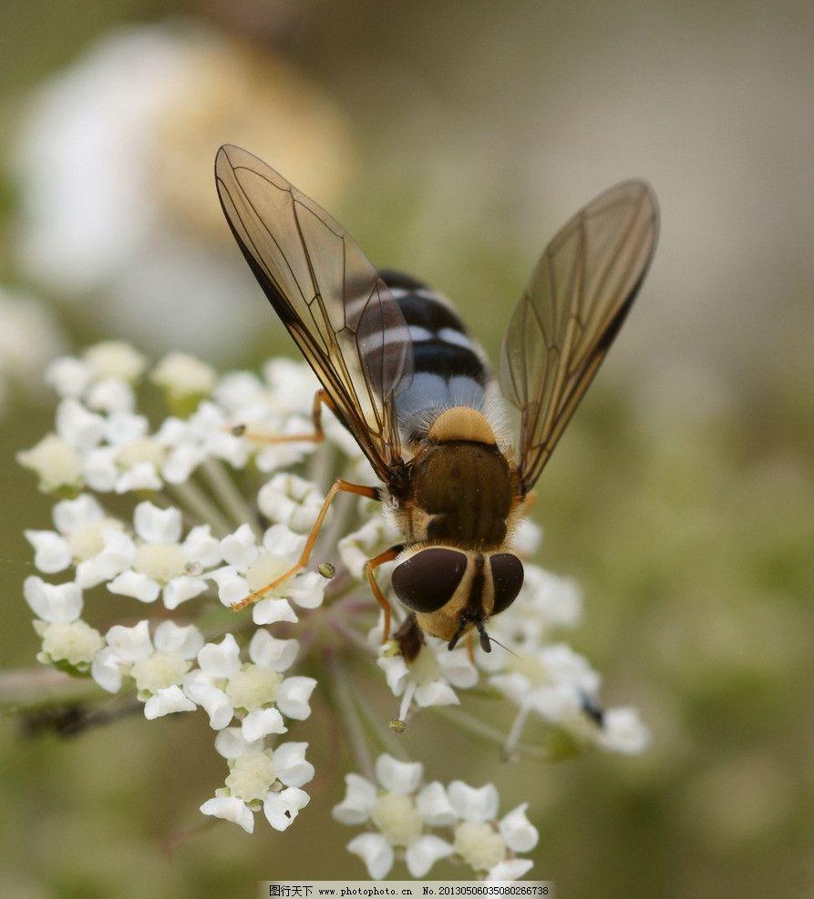 蜜蜂 动物 自然 生物 环境 大自然 野生动物 物种 采蜜 蜂蜜 蜂产品