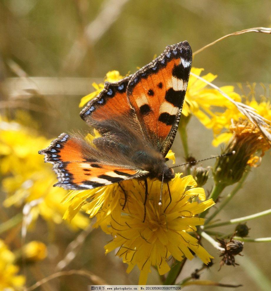 蝴蝶 动物 自然 生物 环境 大自然 野生动物 物种 蝶 动物世界 生物