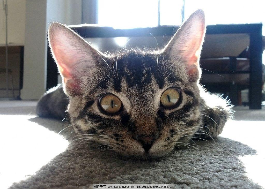 可爱的 爱干净 朋友 捉鼠 猫咪 猫猫 爬树 宠物 宠物猫 波斯猫 小花猫