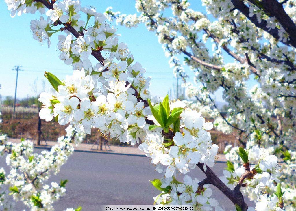 杏花 花卉 生态 生物 植物 花草 鲜花 春天 白色 绽放 艳丽 花卉植物