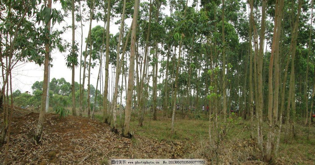 树林 农村 乡村 春天 桉树 树木树叶 生物世界 摄影 180dpi jpg