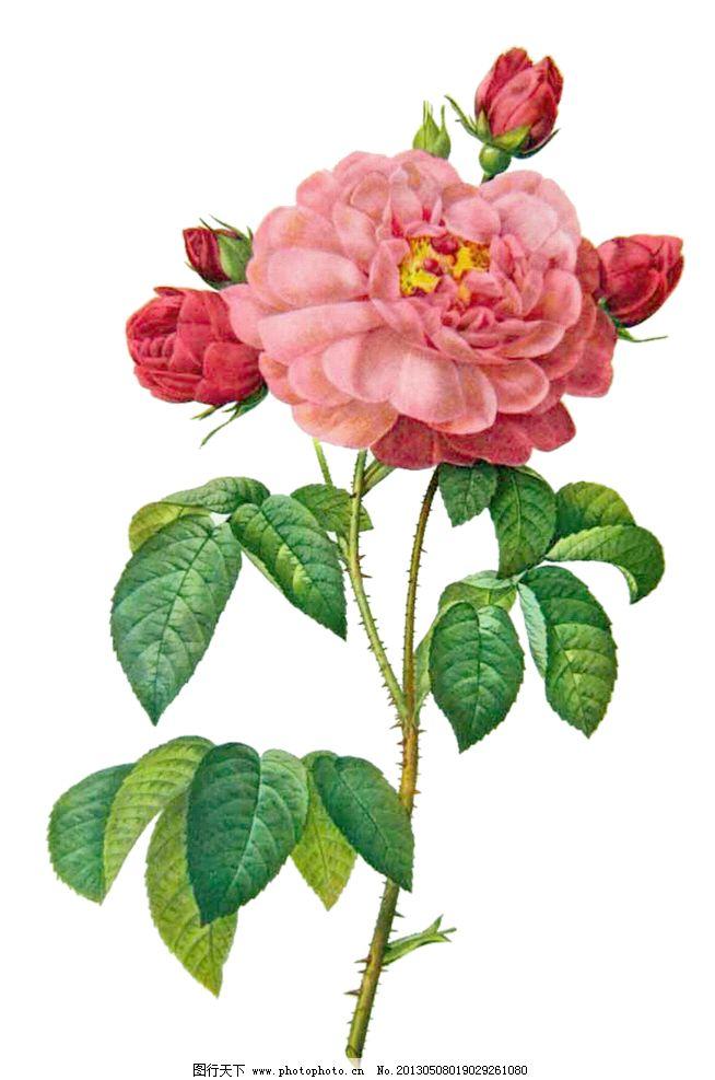 粉色玫瑰花 手绘玫瑰花 手绘粉色玫瑰花 手绘花朵 复古玫瑰花 复古