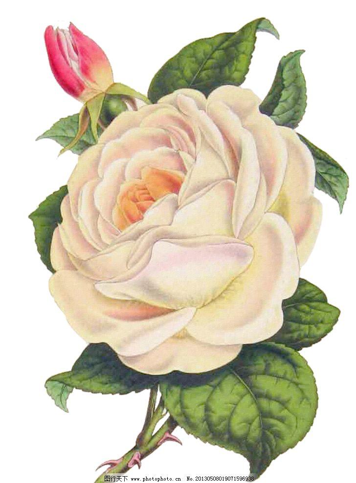 白色玫瑰花 手绘玫瑰花 手绘白色玫瑰花 手绘花朵 复古玫瑰花 复古