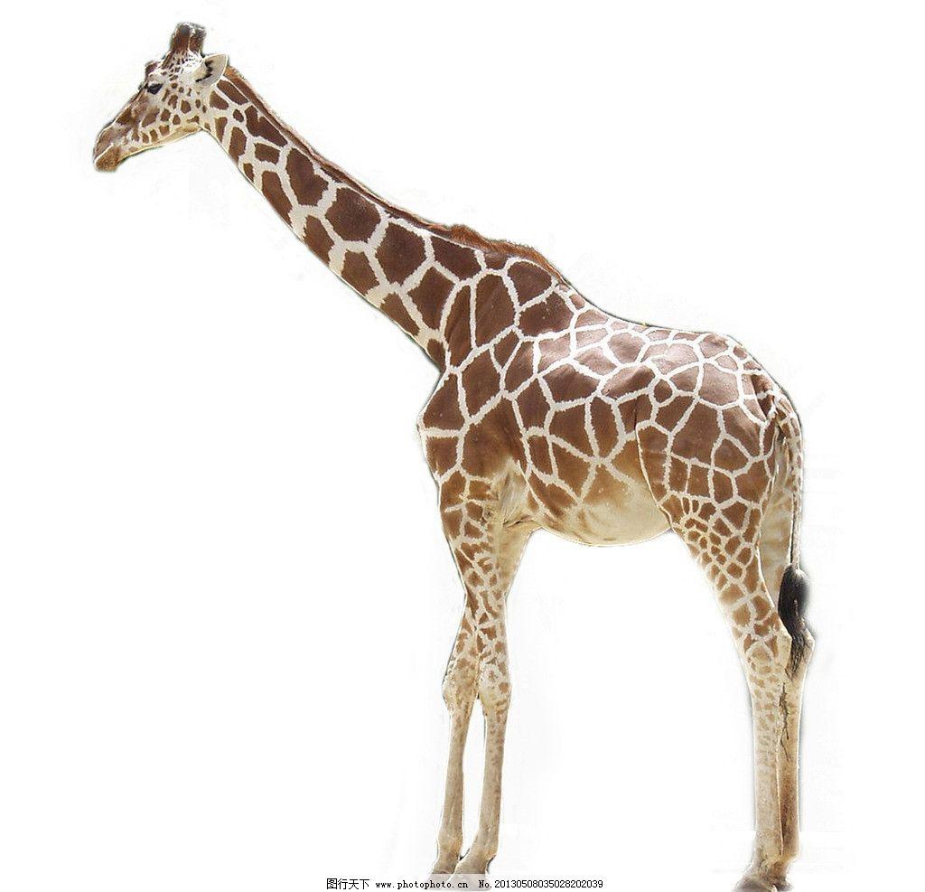 长颈鹿 哺乳动物 动物 野生动物 长脖鹿 生物世界 摄影 300dpi jpg