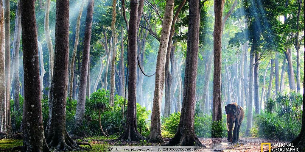 大象 树林 国家地理 热带雨林 野生动物 生物世界 摄影 72dpi jpg