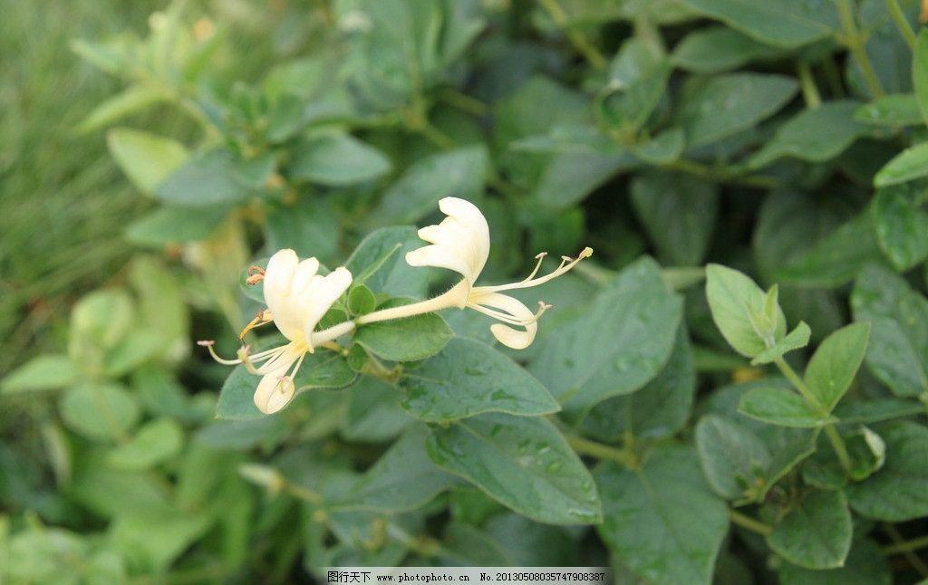 金银花 叶子 树枝 土地 绿色 花草 生物世界 摄影 72dpi jpg