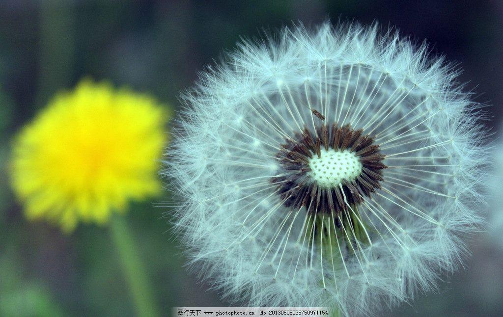 蒲公英 花 春天的花 风景 植物 花草 生物世界 摄影 72dpi jpg
