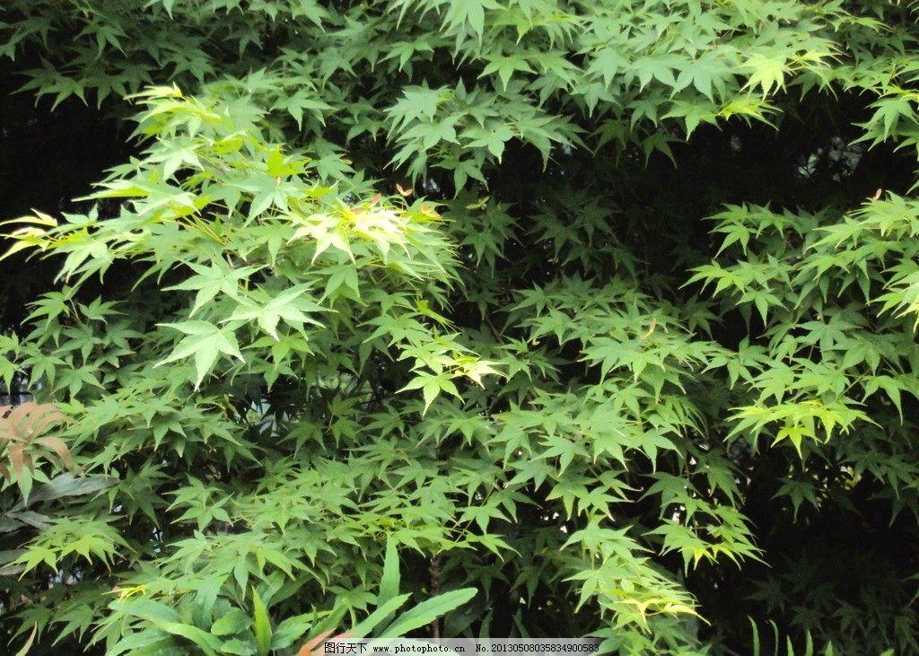 枫叶 绿枫树 枫树林 绿枫叶 树枝 树叶 树木树叶 生物世界 摄影 72dpi