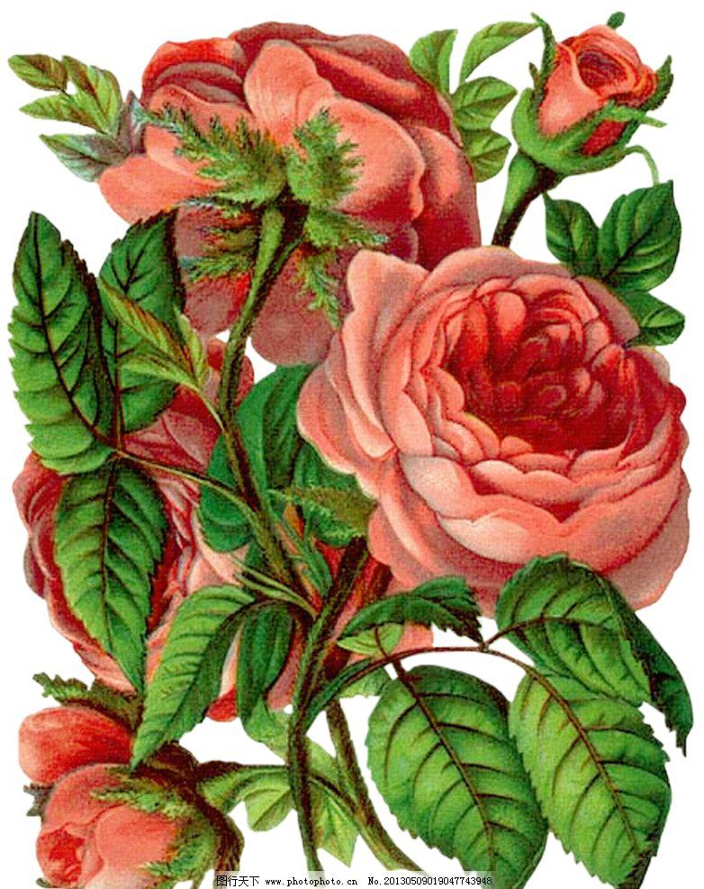 复古玫瑰花 手绘玫瑰花 手绘粉色玫瑰花 手绘花朵 绿叶 复古花朵 玫瑰