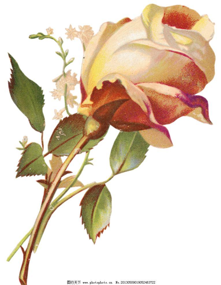 手绘花朵 手绘花卉 复古花卉 复古花朵 复古玫瑰花 复古月季花 手绘植