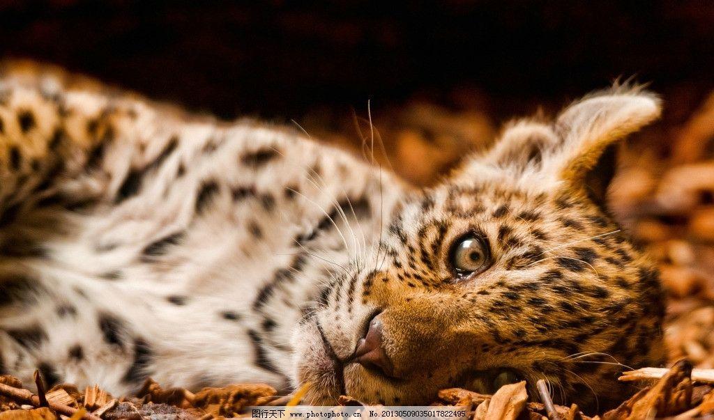 豹 豹子 壁纸 动物 虎 老虎 桌面 1024_603
