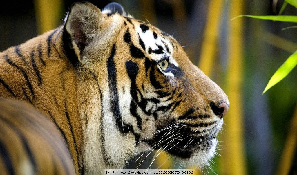 老虎 东北虎 凶猛 动物园 野生动物 猫科动物 濒危物种 哺乳动物