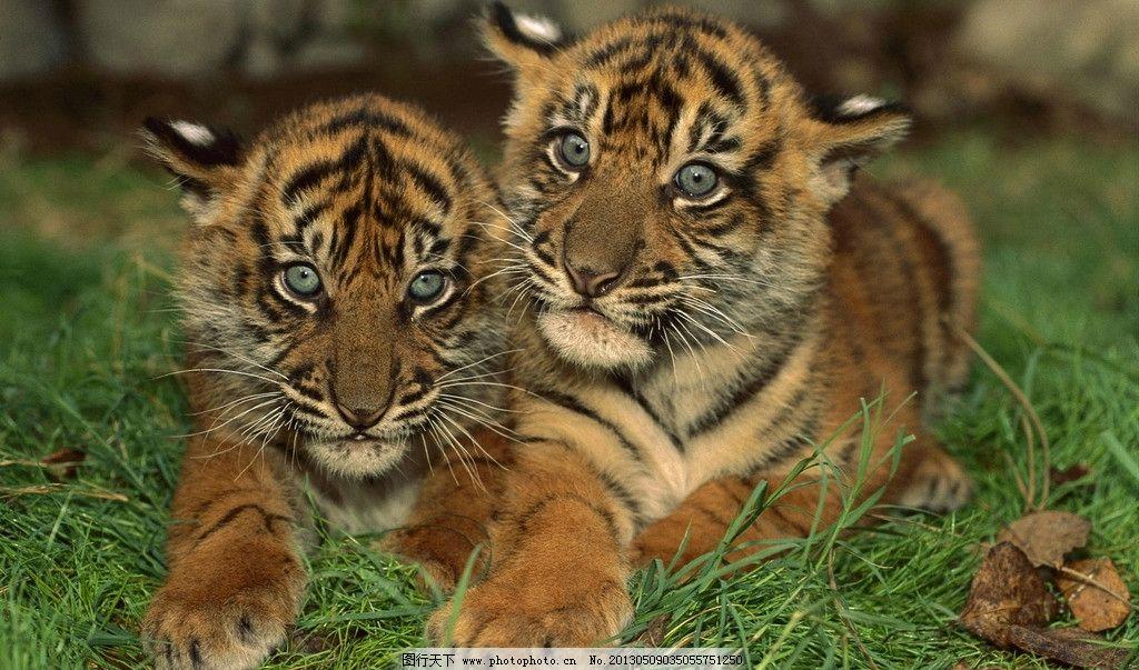 猫科动物 濒危物种 哺乳动物 猫科 虎纹 虎头 虎耳朵 虎口 森林之王