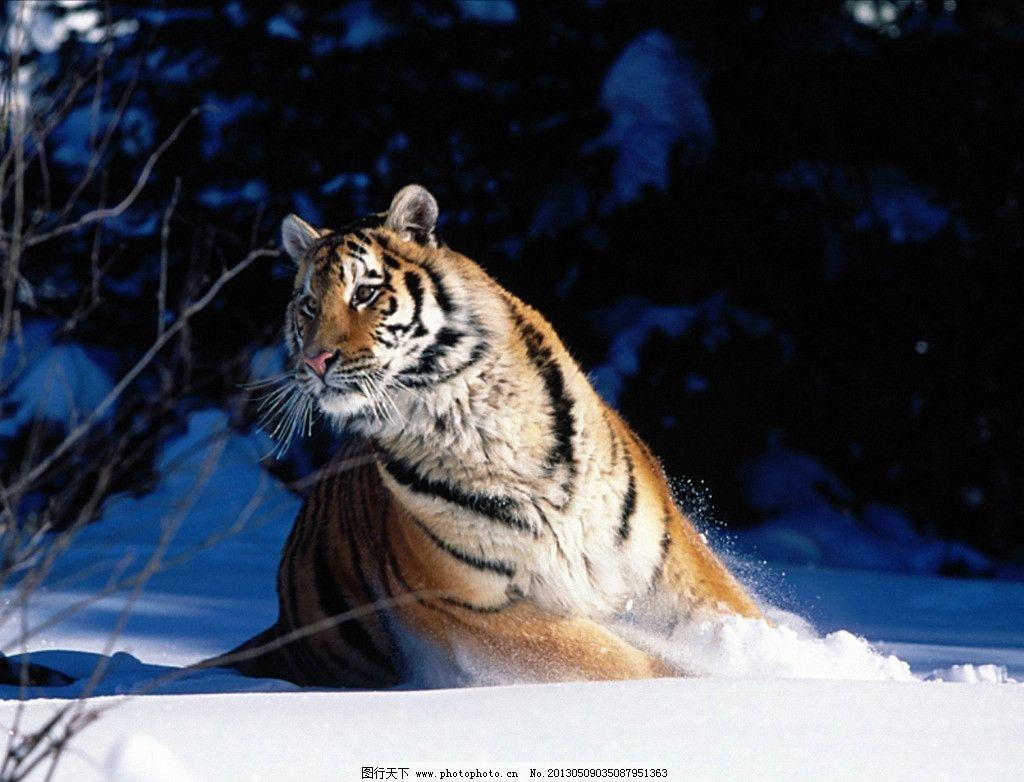 老虎 相偎相依 东北虎 凶猛 动物园 野生动物 猫科动物 濒危物种 哺乳