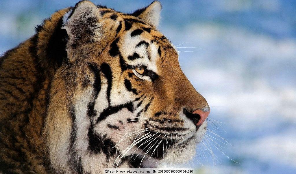 老虎 东北虎 凶猛 动物园 野生动物 猫科动物 濒危物种 哺乳动物 猫科