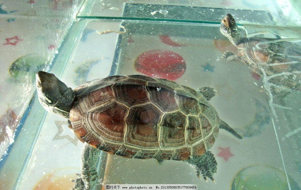 小乌龟 根河市 乌龟 爬行动物
