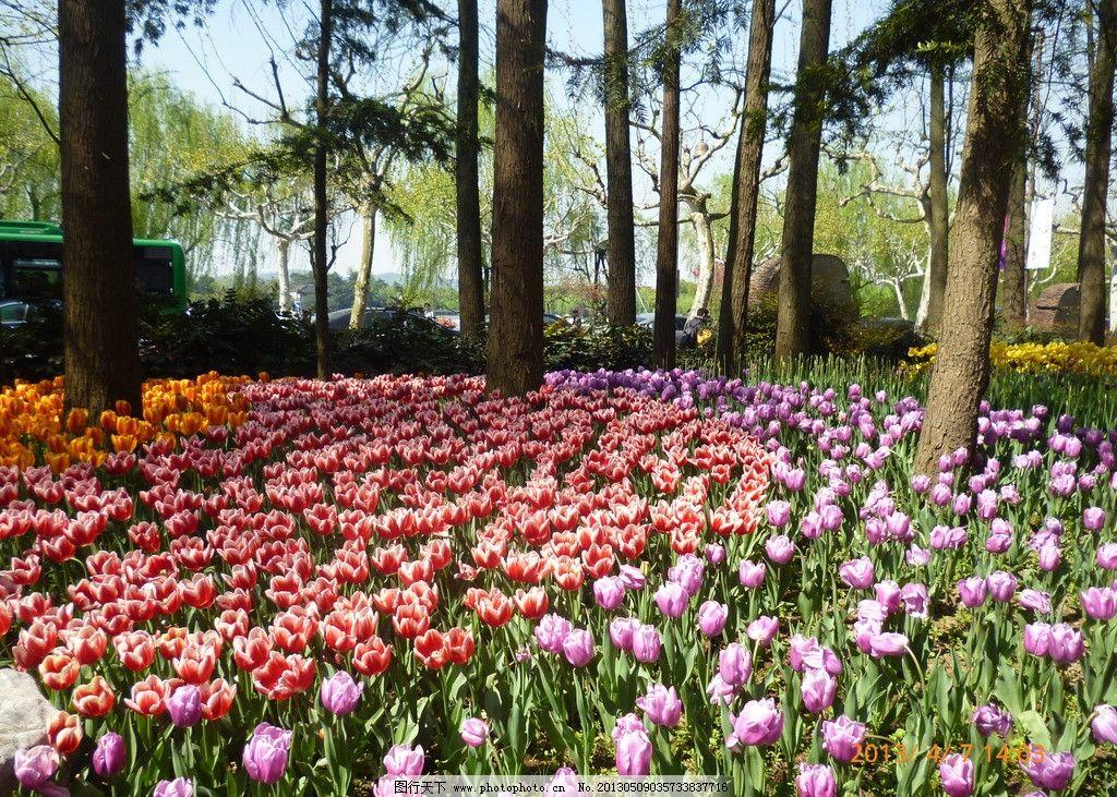 鲜花 花朵 郁金香 彩色花朵 太子湾公园 春天 百花开放 摄影背景 花草