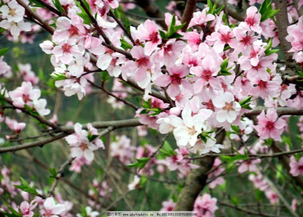 桃花 树林 自然 风景 摄影
