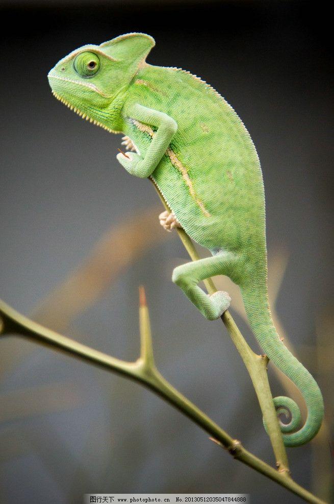 变色龙 树枝 自然动物 蜥蜴 爬行动物 摄影