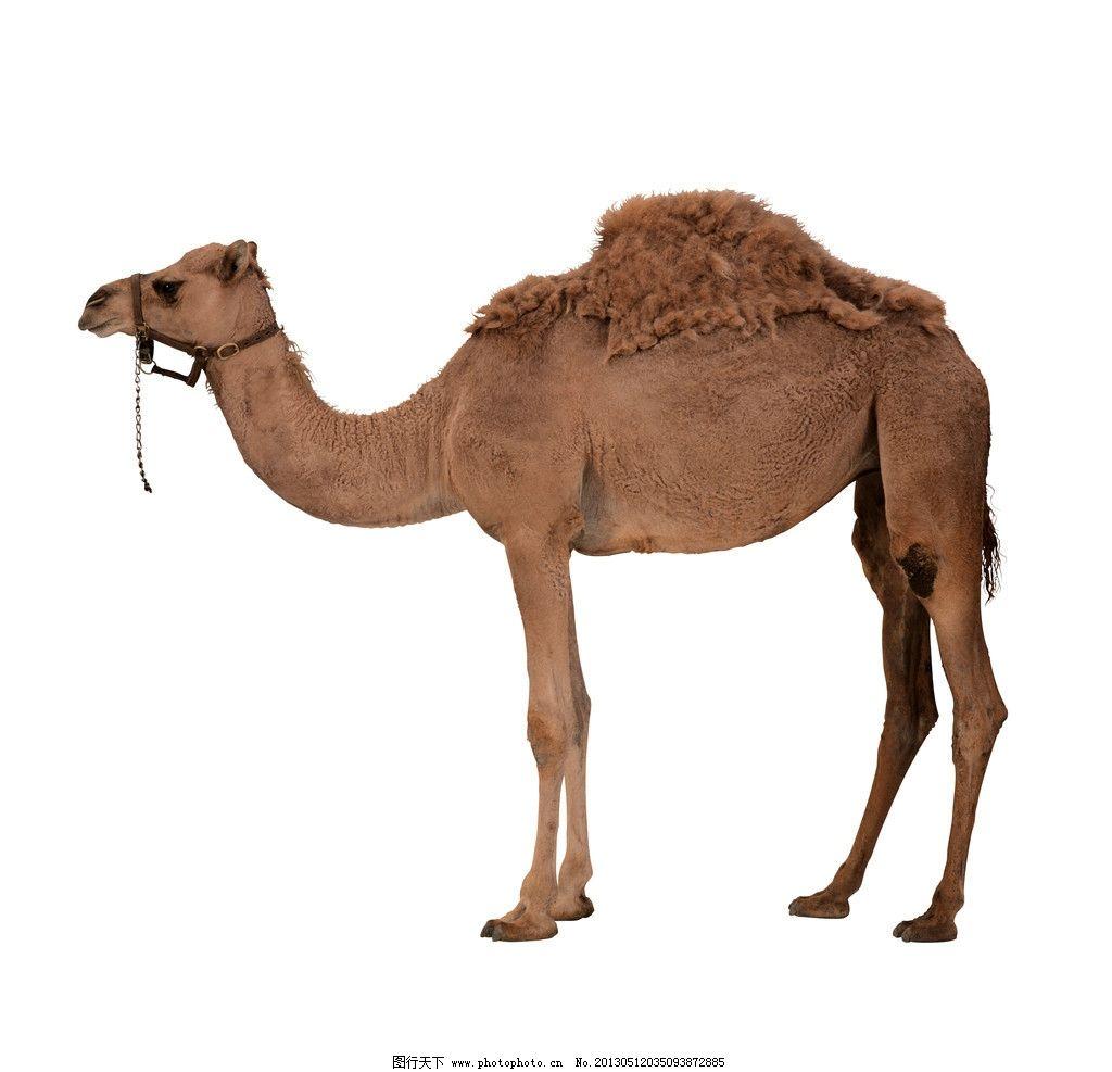 骆驼 动物 沙漠 黄皮肤 驼峰 野生动物 生物世界 摄影 72dpi jpg