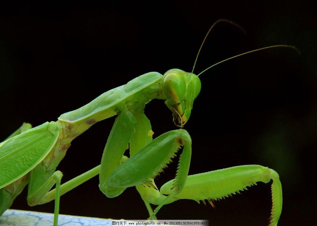 螳螂 光影 高清螳螂 小动物 昆虫 微距 生物世界 摄影