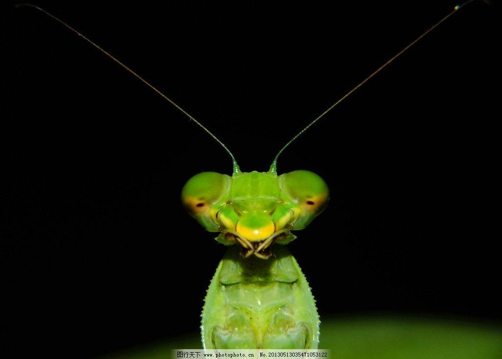外星人一搬的螳螂 光影 高清螳螂 小动物 微距 摄影