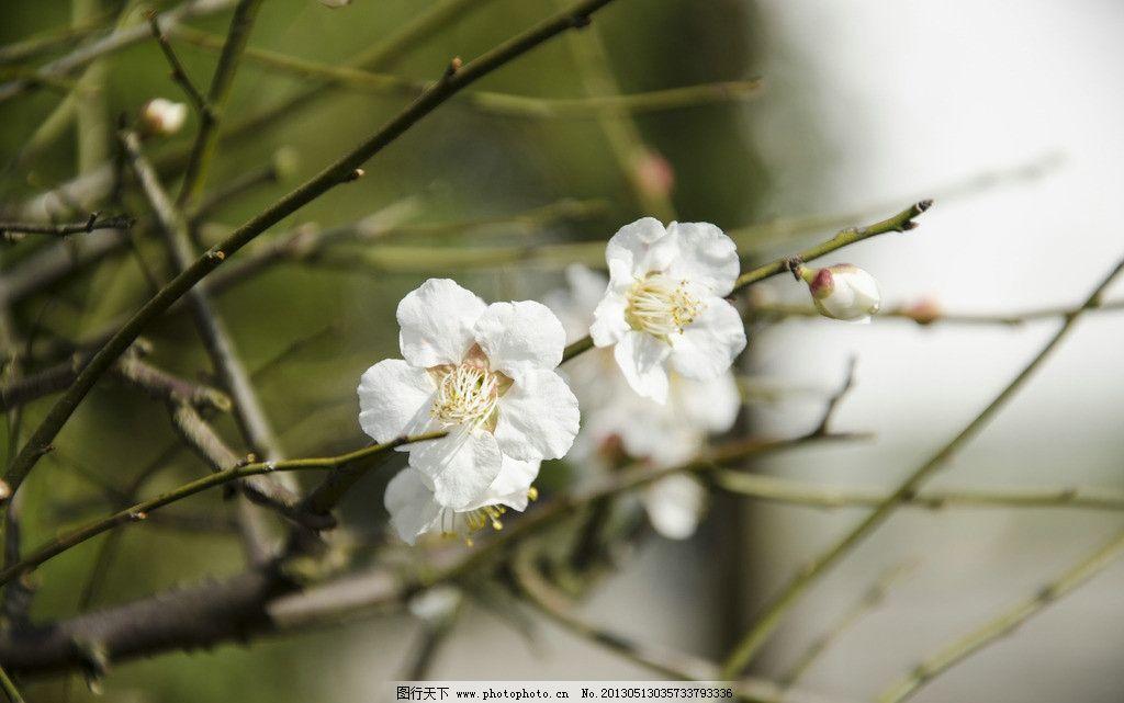 梅花 花朵 花瓣 花柳 树枝 白花 花蕾 西溪梅花节 花丛 花草 生物世界