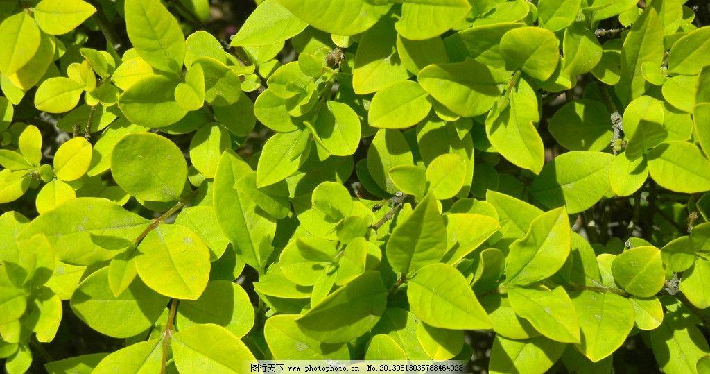 冬青 植物 绿色 大自然 无污染 叶子 绿叶 花草 生物世界 摄影 300dpi