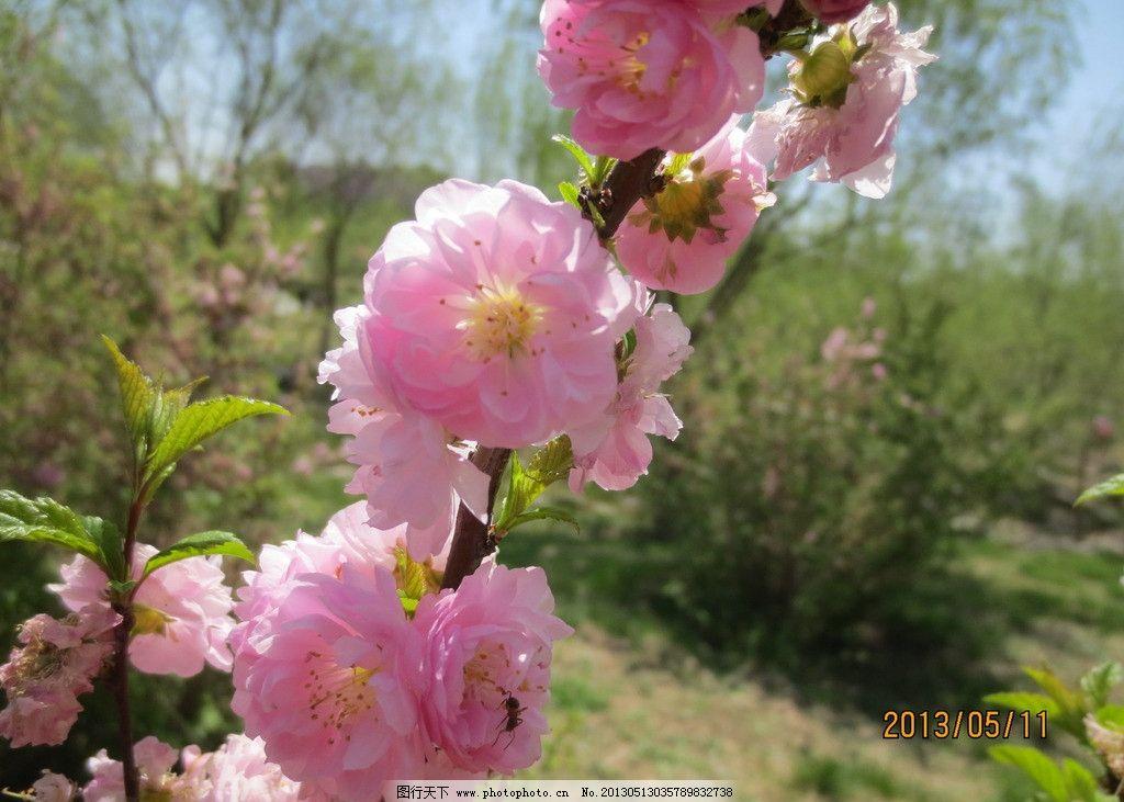 桃花 花朵 盛开的花朵 花 粉花 粉色的花朵 花枝 春天美丽的花朵 花草