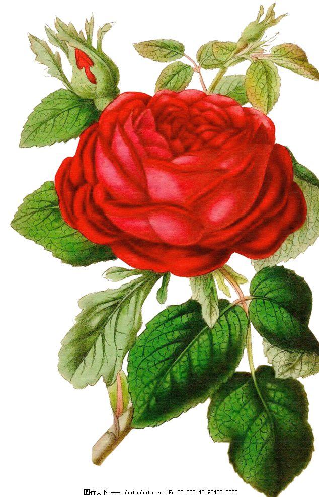 红色玫瑰花图片_绘画书法_文化艺术_图行天下图库