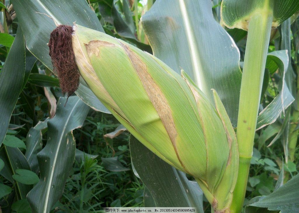 玉米 棒子 绿色 穗大 棒匀 田园风光 自然景观 摄影 480dpi jpg
