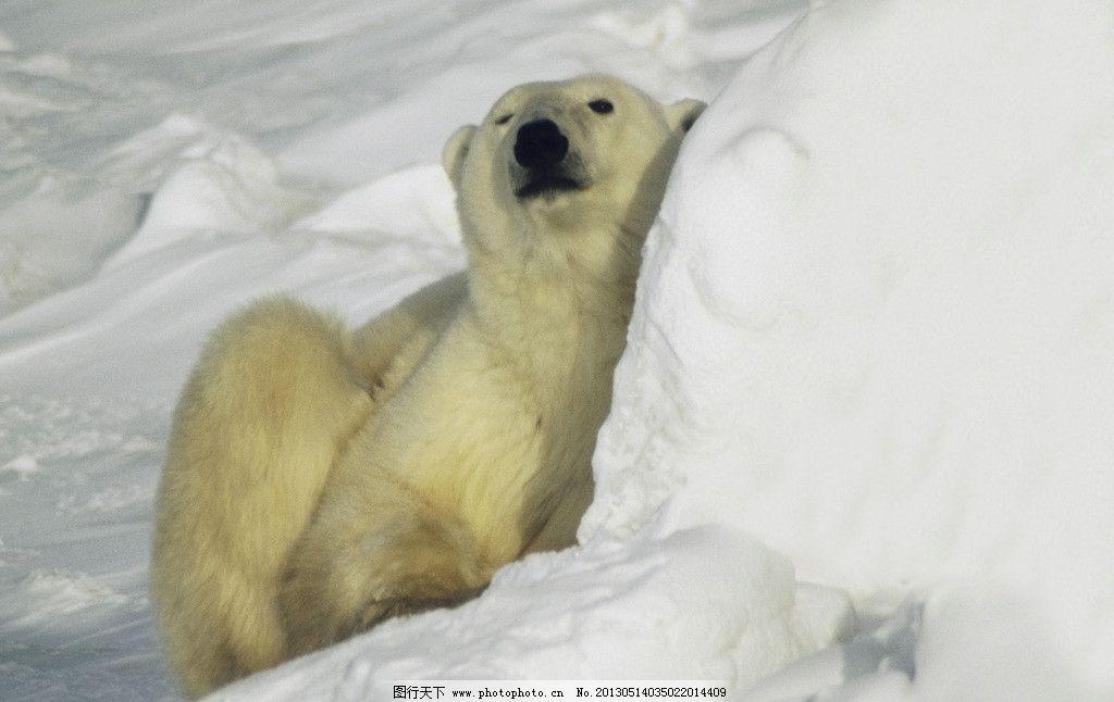 摄影图库 生物世界 野生动物  北极熊 雪地 保护动物 可爱动物 动物