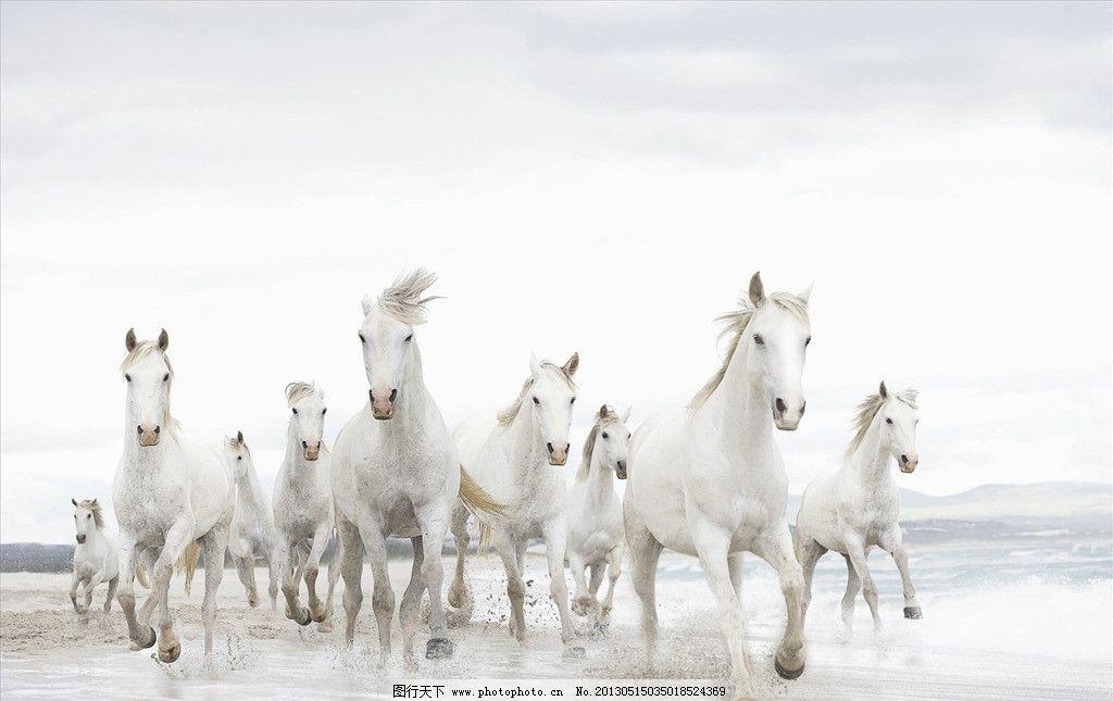 白马 马 狂奔 奔跑      动物世界 野生动物 生物世界 摄影 300dpi
