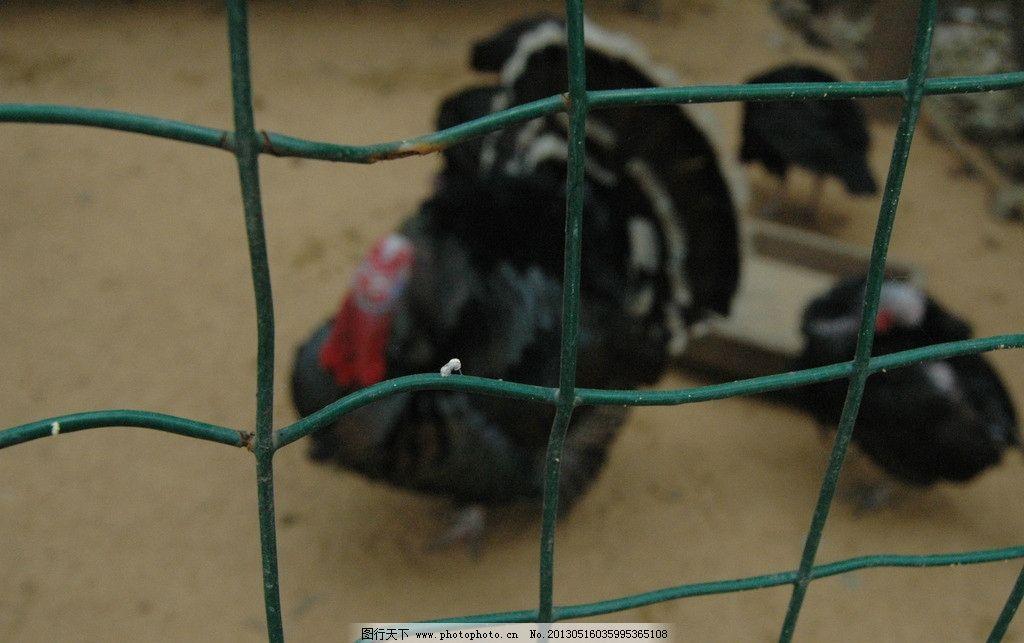 笼子里的山鸡 动物 笼子 鸡笼 笼子里的鸡 山鸡 家禽家畜 生物世界
