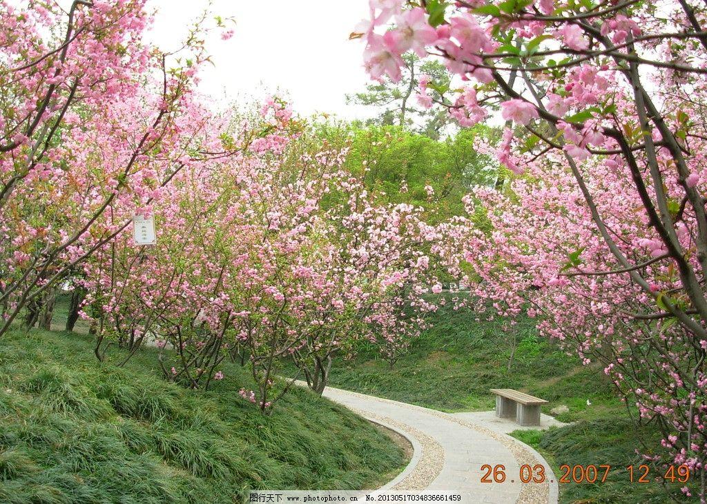 鲜花 特写 照片 美丽 粉红色 花朵 春花 海棠林 花间小路 小路 公园图片