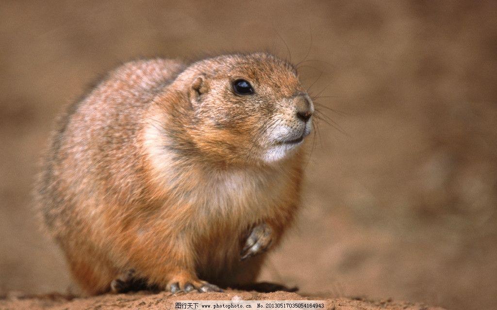 草原鼠 动物 鼠 近景 特写 野生动物 生物世界 摄影 300dpi jpg