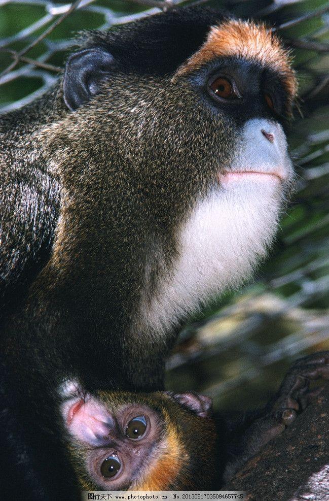 猴子 动物 森林里的猴子 近景 灵长类动物 野生动物 生物世界 摄影