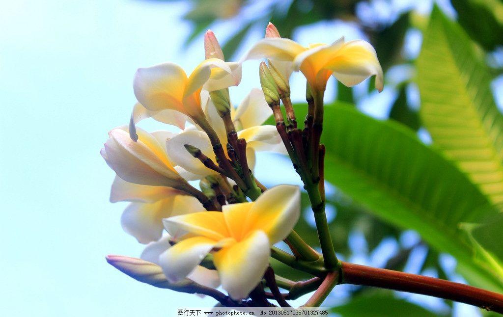 植物花卉 泰国 普吉岛 鸡蛋花 泰国国花 特写 静物 花卉 植物 树木