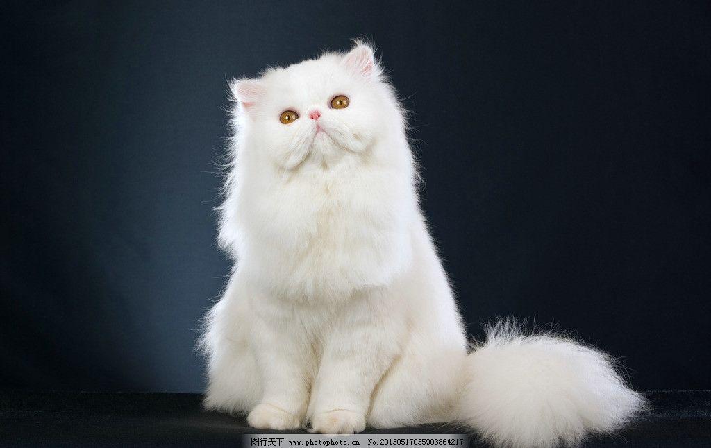 波斯猫 动物 宠物 猫咪 喵星人 可爱 精灵 漂亮 洁白 白色 家禽家畜