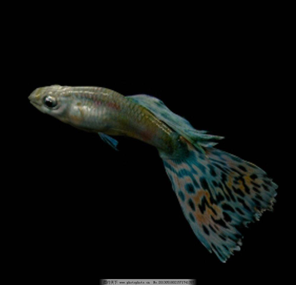 鱼 彩色鱼 观赏鱼图片