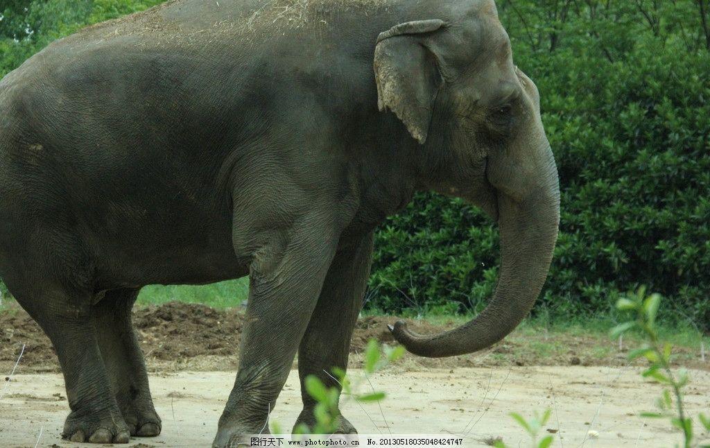 大象 动物园 大型动物 亚洲象 象 野生动物 生物世界 摄影 72dpi jpg