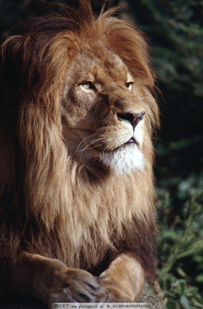 狮子 非洲狮 雄狮 近景 特写 野生动物 生物世界 摄影 300dpi jpg
