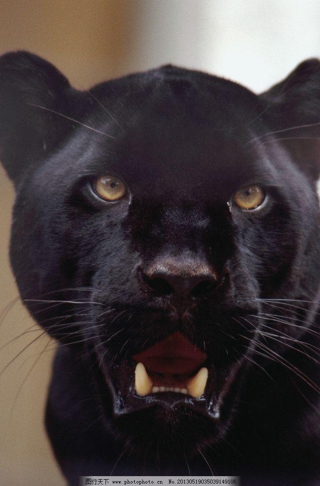黑豹 非洲豹 黑豹头部 近景 特写 野生动物 生物世界 摄影 300dpi jpg