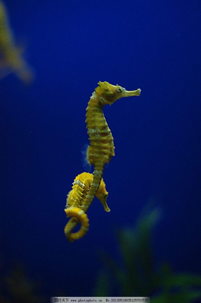 牵手的海马 海马 软体动物 金色海马 海底世界 海洋生物 生物世界
