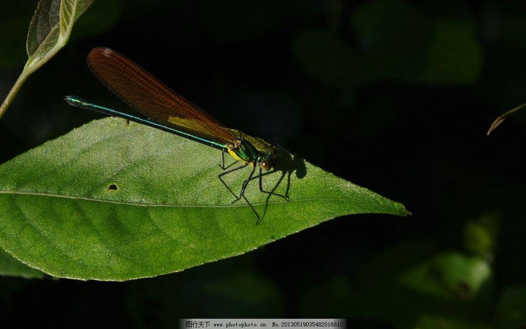 叶子上的蜻蜓 蜻蜓 叶子 动物 植物 自然 昆虫 生物世界 摄影 300dpi